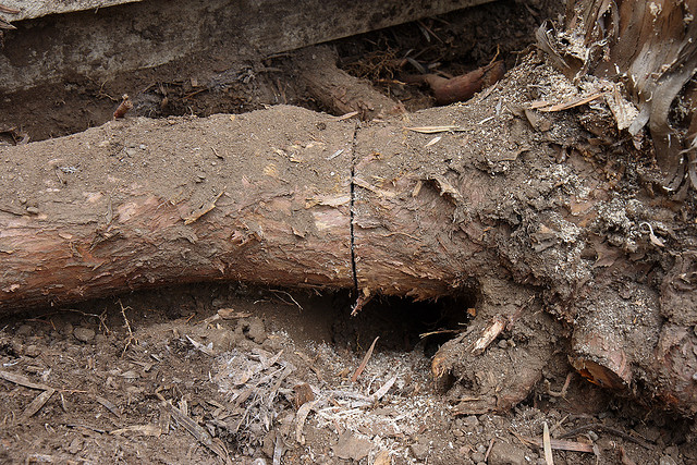 Prevent Clogs On Your Septic Tank With Tree Root Removal